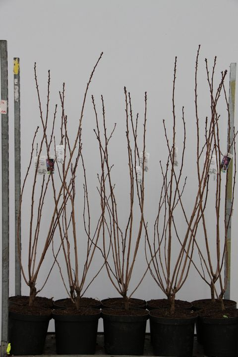 Prunus serr. Royal Burgundy